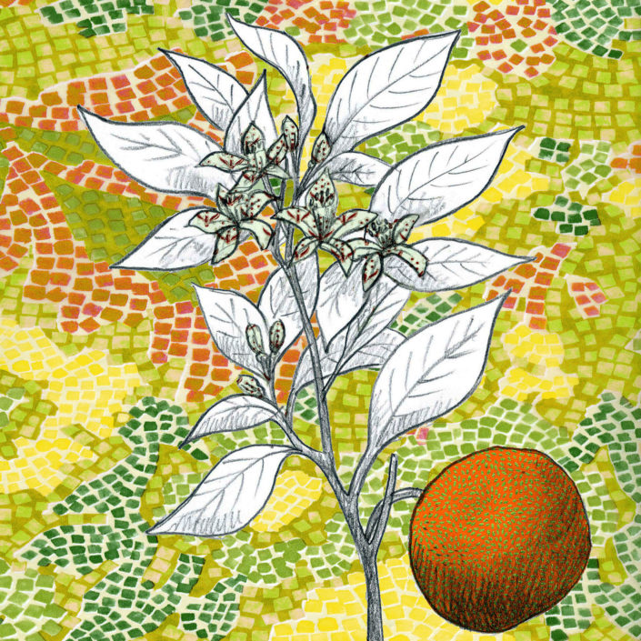 Fleur d'oranger, Grasse